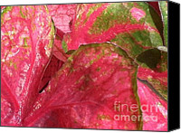 Caladium Photo Canvas Prints - Caladium  Canvas Print by Elizabeth Coats