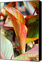 Caladium Photo Canvas Prints - Caladium Canvas Print by Geary Barr