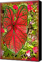 Caladium Photo Canvas Prints - Caladium in Red Canvas Print by Larry Bishop
