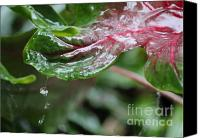 Caladium Photo Canvas Prints - Caladium Leaf Adrip Canvas Print by Theresa Willingham