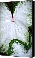 Caladium Photo Canvas Prints - Caladium Canvas Print by Melissa   