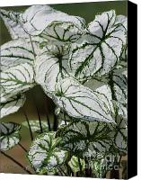 Caladium Photo Canvas Prints - Caladium named White Christmas Canvas Print by J McCombie