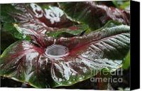 Caladium Photo Canvas Prints - Caladium Puddle Canvas Print by Theresa Willingham