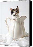 Stare Canvas Prints - Calico kitten in white pitcher Canvas Print by Garry Gay