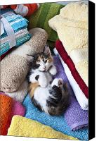 House Photo Canvas Prints - Calico kitten on towels Canvas Print by Garry Gay