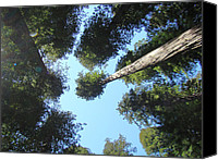 Artist Framed Prints Canvas Prints - California Redwood Trees Fine Art Prints Forest Canvas Print by Baslee Troutman Fine Art Prints