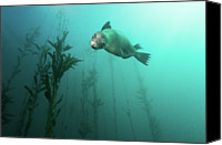 Sea Aquatic Canvas Prints - California Sea Lion In Kelp Canvas Print by Steven Trainoff Ph.D.