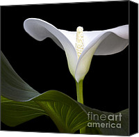 Callas Canvas Prints - Calla Beauty Canvas Print by Heiko Koehrer-Wagner