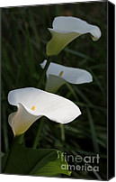 Callas Canvas Prints - Calla Lilies in the Shadows Canvas Print by Jennie Marie Schell