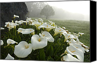 Northern California Canvas Prints - Calla Lilies Zantedeschia Aethiopica Canvas Print by Keenpress