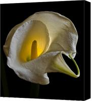 Calla Lily Canvas Prints - Calla Lily - Backlit Canvas Print by Robert Ullmann
