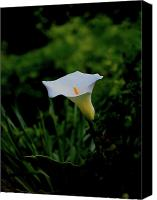 Calla Lily Canvas Prints - Calla Lily Flower . 40D4754 Canvas Print by Wingsdomain Art and Photography