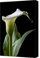 Serenity Canvas Prints - Calla lily with drip Canvas Print by Garry Gay