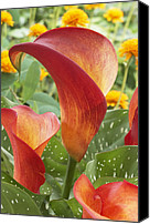 Calla Lily Canvas Prints - Calla Lily Zantedeschia Sp Captain Canvas Print by VisionsPictures