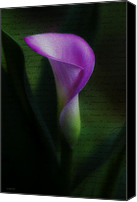 Calla Lily Canvas Prints - Calla Canvas Print by Ron Jones