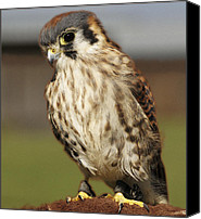 Barbara Middleton Canvas Prints - Callie American Kestrel Canvas Print by Barbara Middleton