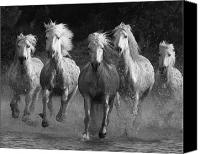 White Horses Canvas Prints - Camargue Horses Running Canvas Print by Carol Walker