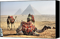 Middle East Canvas Prints - Camel And Pyramids, Caro, Egypt. Canvas Print by Oudi