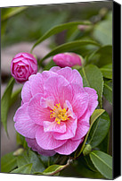 Theaceae Canvas Prints - Camellia Camellia X Williamsii Donation Canvas Print by VisionsPictures