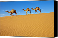 Saudi Canvas Prints - Camels Walking On Sand Dunes Canvas Print by Saudi Desert Photos by TARIQ-M