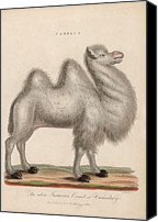 Camel Digital Art Canvas Prints - Camelus Canvas Print by Hulton Archive