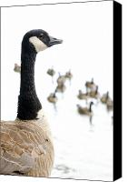 Goose Canvas Prints - CANADA GEESE goose with wetlands birds and waterfowl Canvas Print by Andy Smy