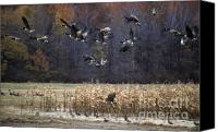 Photos Of Autumn Canvas Prints - Canadian Geese in Flight Canvas Print by Craig Lovell