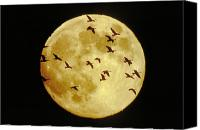 Aves Canvas Prints - Canda Geese and Moon Canvas Print by Kenneth Fink and Photo Researchers