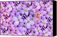 Wildflower Canvas Prints - Candytuft Canvas Print by Mary P. Siebert