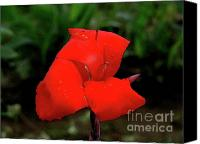 Canna Canvas Prints - Canna 19 Canvas Print by Padamvir Singh