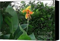 Canna Canvas Prints - Canna 2 Canvas Print by Padamvir Singh