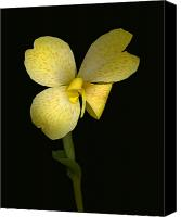 Canna Canvas Prints - Canna Amarillo Tropical Canvas Print by Suzanne Gaff