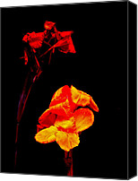 Canna Canvas Prints - Canna Lilies on Black Canvas Print by Carol Senske