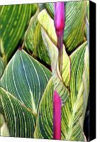 Canna Canvas Prints - Canna Lily Foliage Canvas Print by Dr Keith Wheeler
