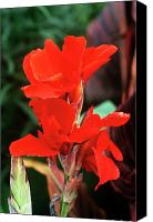 Canna Canvas Prints - Canna Lily lucifer Canvas Print by Adrian Thomas