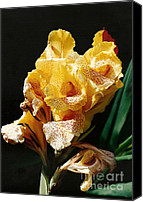 Canna Lilies Canvas Prints - Canna Lily Canvas Print by Marilyn Wilson