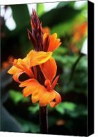Canna Canvas Prints - Canna Lily roi Humbert Canvas Print by Adrian Thomas