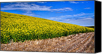 Rapeseed Canvas Prints - Canola and Stubble Canvas Print by David Patterson
