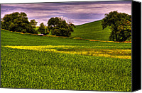 Rapeseed Canvas Prints - Canola and Wheat Canvas Print by David Patterson