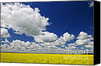 Rapeseed Canvas Prints - Canola field Canvas Print by Elena Elisseeva