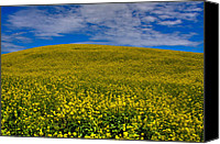Rapeseed Canvas Prints - Canola Field in the Palouse Canvas Print by David Patterson