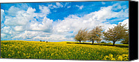 Rape Canvas Prints - Canola Field Panorama Canvas Print by Christopher Elwell and Amanda Haselock