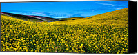 Rapeseed Canvas Prints - Canola Hills in the Palouse Canvas Print by David Patterson