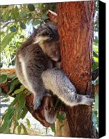 Koala Canvas Prints - Cant Be Bothered Canvas Print by Kelly Jones