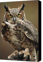 Indoors Canvas Prints - Captive Great Horned Owl, Bubo Canvas Print by Raymond Gehman