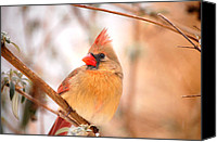 Cardinals. Wildlife. Nature. Photography Canvas Prints - Cardinal Bird Female Canvas Print by Peggy  Franz