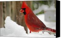 Cardinals. Wildlife. Nature. Photography Canvas Prints - Cardinal Profile Canvas Print by Jennifer Wosmansky