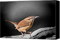 Wren Canvas Prints - Carolina Wren Canvas Print by Bonnie Barry