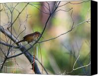Carolina Wren Canvas Prints - Carolina Wren Canvas Print by Joseph G Holland