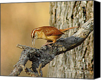 Wren Canvas Prints - Carolina Wren Canvas Print by Robert Frederick